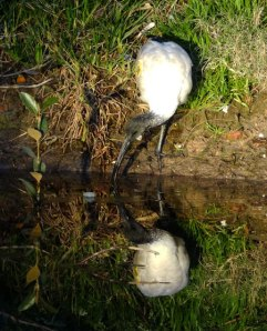 Juvenile Ibis taking a drink in the stormwater canal - a boon for wildlife.