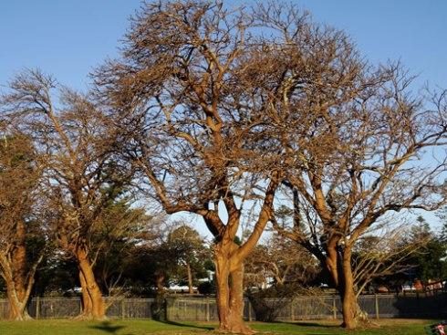 Veteran Coral trees.
