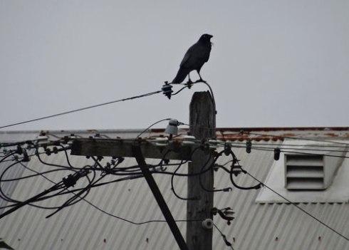 Marrickville Raven
