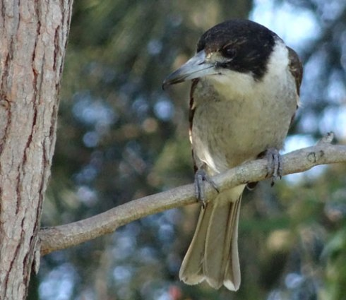 Grey Butcherbird.  The more we green our environment, the more we support greater biodiversity.