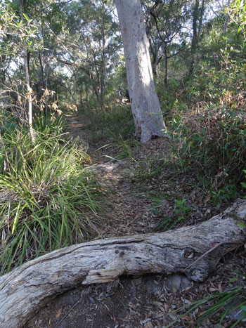 Walking track in Oatley Park.  The Council has left it as natural as possible.