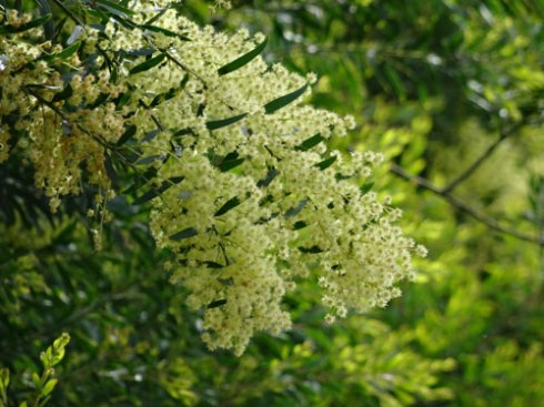 Wattle is in flower at the Marrickville Bush Pocket on Victoria Road.