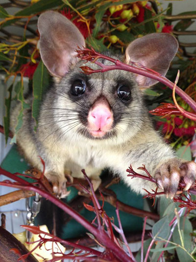 Ultra-cute 'Lemon,' a brushtail possum in WIRES care.  Photo by Maree Evans with thanks :-)