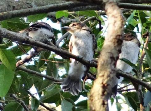 Local Grey Butcher bird fledglings