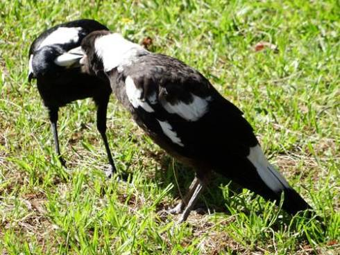 One of the first Magpie chicks to hit the grass at Mackey Park.  Dad is on the left.