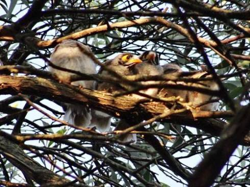 Five local Noisy Miner fledglings.
