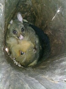 Possum in a nesting box fashioned out of a hollow tree.  A spy cam took this image.  Photo by Steven Richards used with thanks.