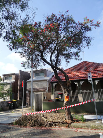 The street tree in Davis Street Dulwich Hill to be removed