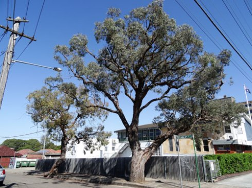 It appears that one of these trees in Stanley Street is up for removal.