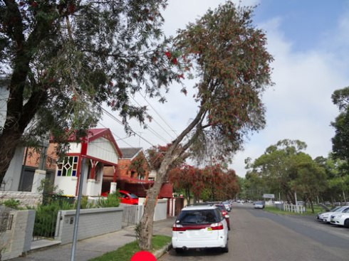 Pruning for powerlines has left a lopsided tree. Pruning for powerlines has left a lopsided tree.   Pruning for powerlines has left a lopsided tree.