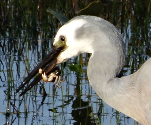 White-faced Heron finds a snack in the saltwater wetlands at Tempe Reserve