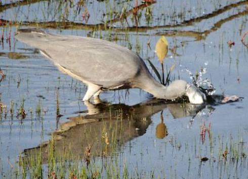 Gotcha!  White-faced Heron fishing in the saltwater wetland in Tempe Reserve.