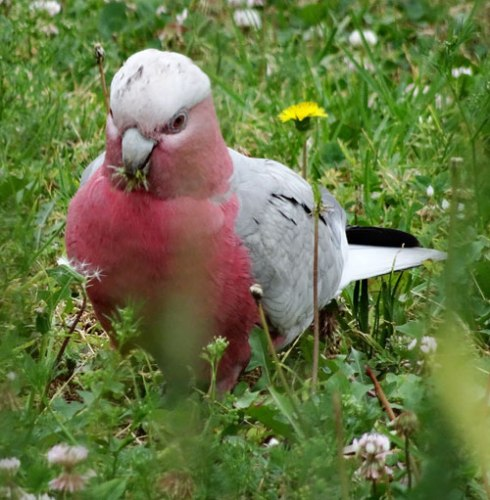 Galah feasting on Dandelion flowers in Sydenham Green.