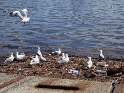 Grey Gulls at Tempe