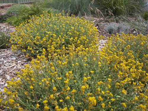 Yellow buttons chrysocephalum apiculatum saving our trees yellow buttons chrysocephalum apiculatum an australian native groundcover that thrives on neglect butterflies mightylinksfo