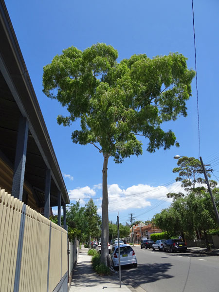 Lemon scented gum - a magnificent tree.  It is a shame to lose it.