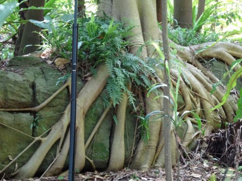A Fig tree growing over a boulder.