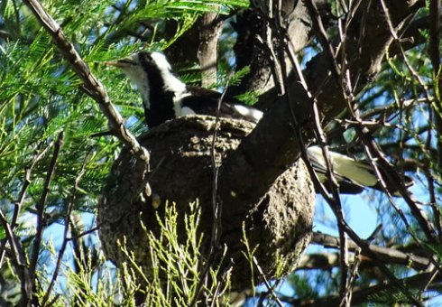 Mum sitting on the nest.