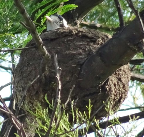 The female Magpie-lark sitting on the nest.  The only movement you see is her hard turning this way & that as she keeps an eye on the environment.