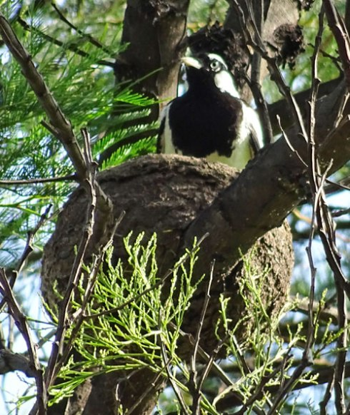 Male Magpie-lark settling in to do a shift of sitting on the nest.  He is standing up & so more visible than usual.