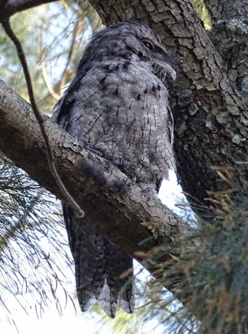 My first ever sighting of a Tawny Frogmouth & what a beauty he is.