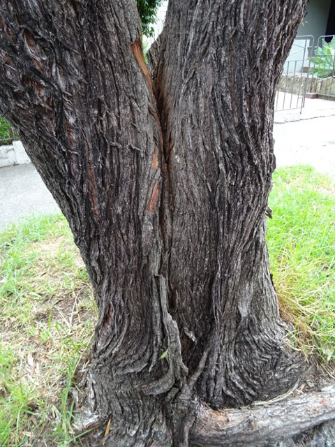Showing the crack.  Removing the girdle root would also help this tree.