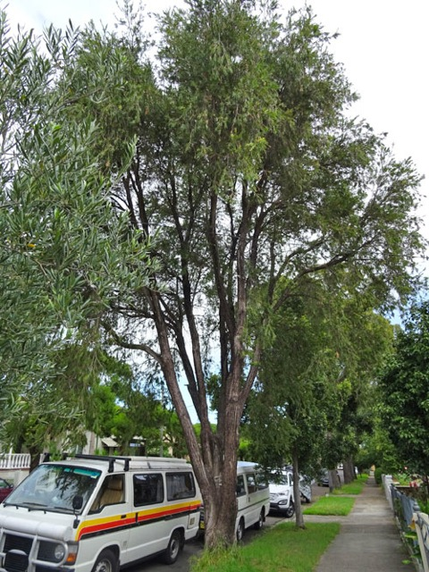 Weeping Bottle Brush tree in Browns Avenue Enmore