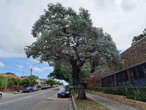 Eucalyptus cinerea to be chopped down.