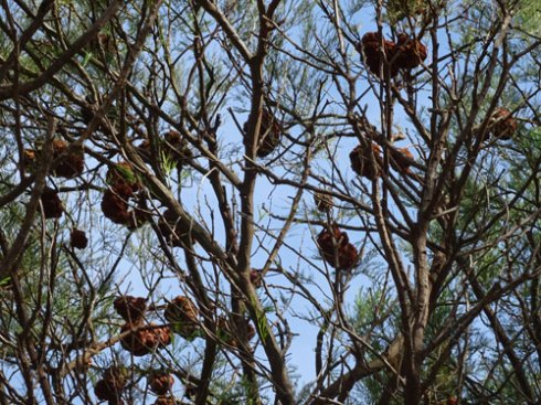 A tree full of Galls - like nature deciding to decorate for New Year celebrations.