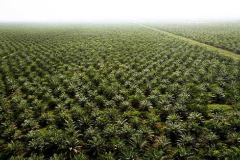 Palm oil plantation - photo from www.independent.co.uk