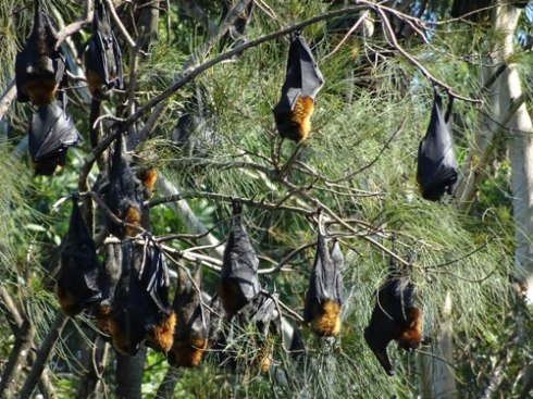 Bats galore in Wolli Creek.  It's a wonderful sight.