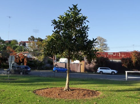 This Fig tree was also planted in 2014.  It will eventually be a feature tree visible from Illawarra Road.