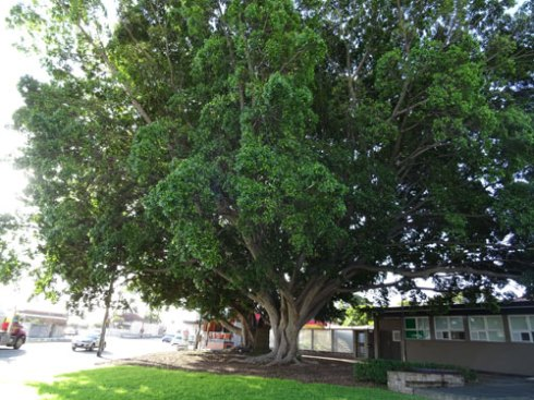 These 65-year-old Figs in Memory Reserve are incredibly important trees in this area, which is full of hard surfaces.