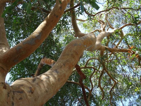 Every healthy tree is worth saving.