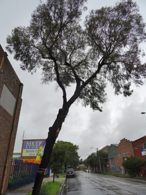 Ironbark (Eucalyptus sideroxylon) opposite 22 Edinburgh Road Marrickville.