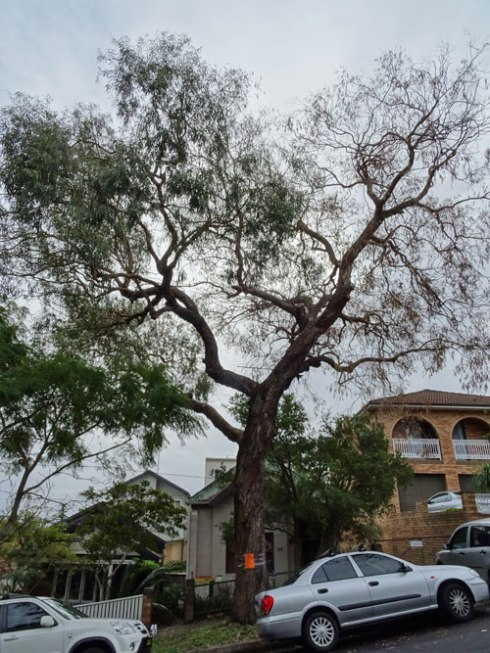 :   Small-Leafed Peppermint (Eucalyptus nicholii) outside 371 Livingstone Road Marrickville.  This tree has had a number of major branches pruned.
