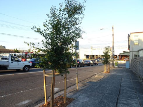 Newly planted street trees in Gannon Street Tempeclose to the Princes Highway.