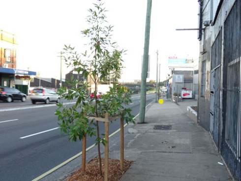 New Queensland Brushbox trees along the Princes Highway Tempe - looking good.