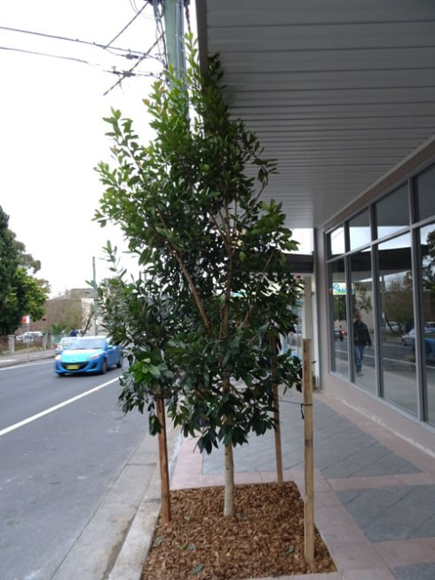 This is a new development & a newly planted street tree in Marrickville.  Across the road there are no street trees, even though there is room for three or four.