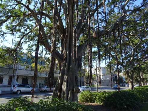 Magnificent veteran Fig with incredible aerial roots.    Two thirds of this tree is not in the photo.