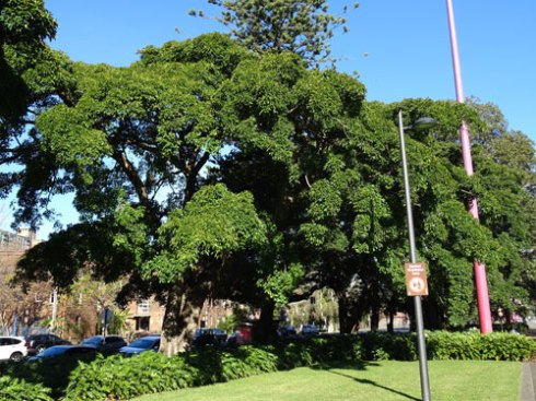 Sublime Fig tree in Redfern Park.  Note the landscaping