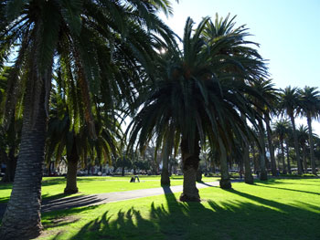 Another view of the veteran Canary Island Palms.