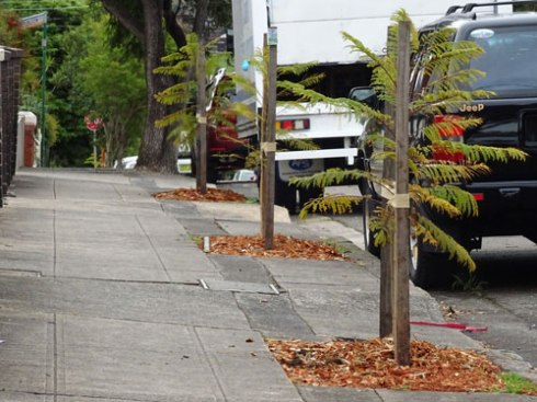 Three other newly planted Jacarandas in Harrington Street.