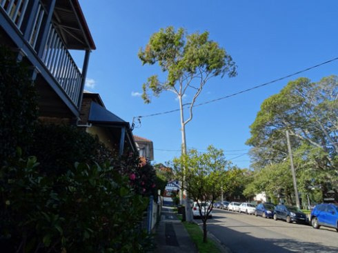 A tall tree that is not coping well in these growing conditions.