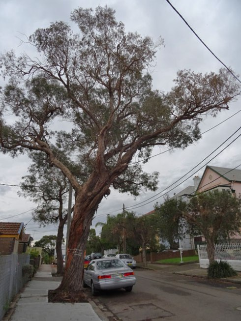 Small-leafed Peppermint tree for removal in Harrington Street Enmore