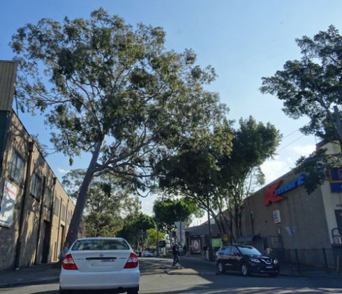 Showing a mature Spotted gum also in Smidmore Street.  The tree does not lean as it shows in the photo.  Marrickville Metro shopping centre is much nicer because of the lovely street trees that surround its perimeter.