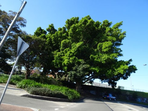 One of the last Hills Fig trees outside of parks. I think it is a perfect planting in this space at Edinburgh Road Marrickville.