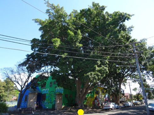 There are 2 magnificent & healthy Hill's Fig trees outside the Marrickville Youth Resource Centre in Marrickville.  They are a local landmark.  How long before Marrickville Council wants to remove the other Hill's Fig?