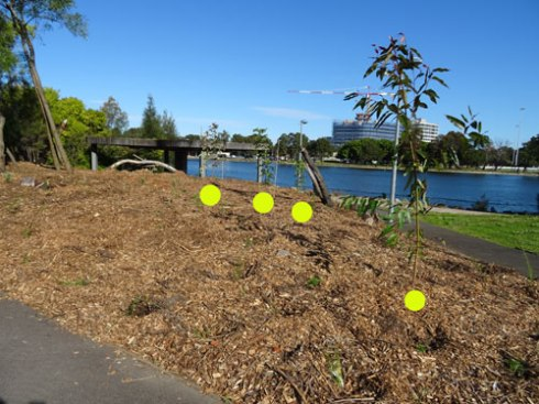 Showing four new trees planted around the kiosk in Tempe Reserve for National Tree Day. .  There are also plants in the mulched areas, but being small are hard to see in this photo.