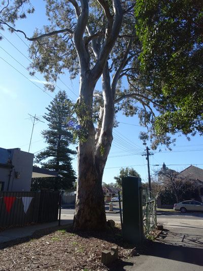 Two very important trees in this photograph - the remnant Eucalypt at the gates of the Addison Road Centre thought to be at least 150-years-old and the Cooks Pine street tree across the road.  That too is is an old tree.